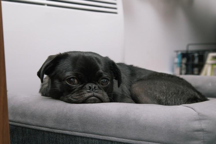 Frostfutter - kleiner schwarzer Hund liegt auf Sofa