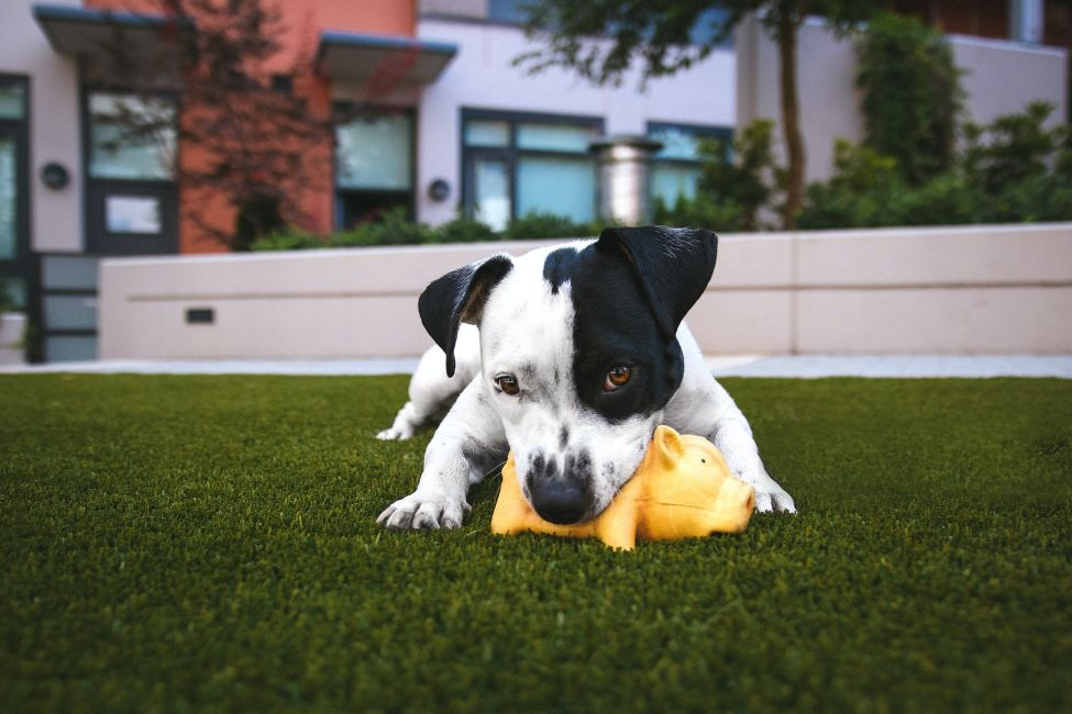 Kleiner schwarz-weißer Hund trainiert mit Spielzeug im Garten