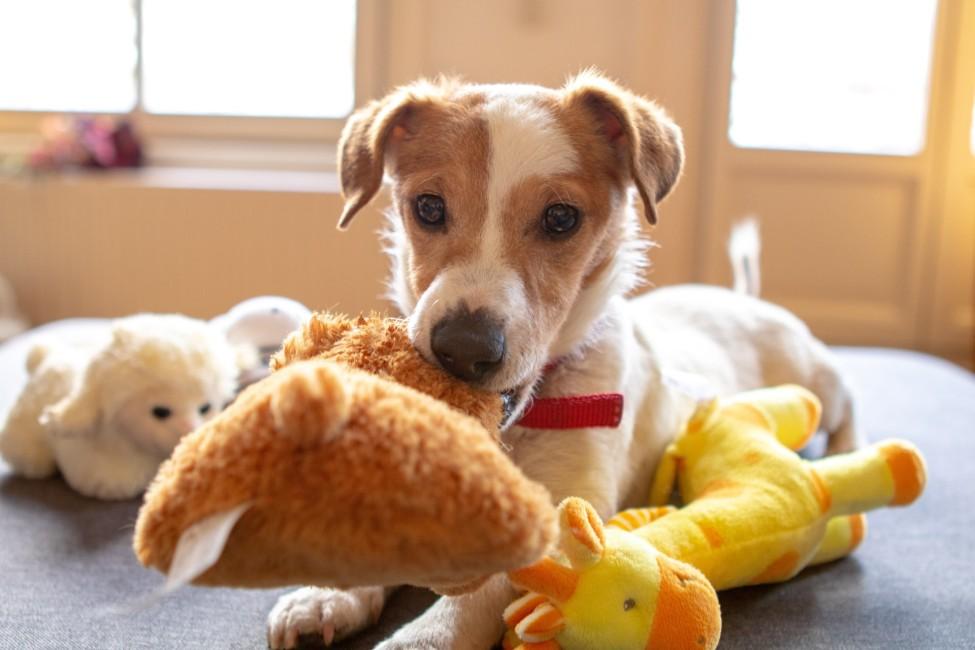 Kleiner Hund trainiert mit Plüschtieren