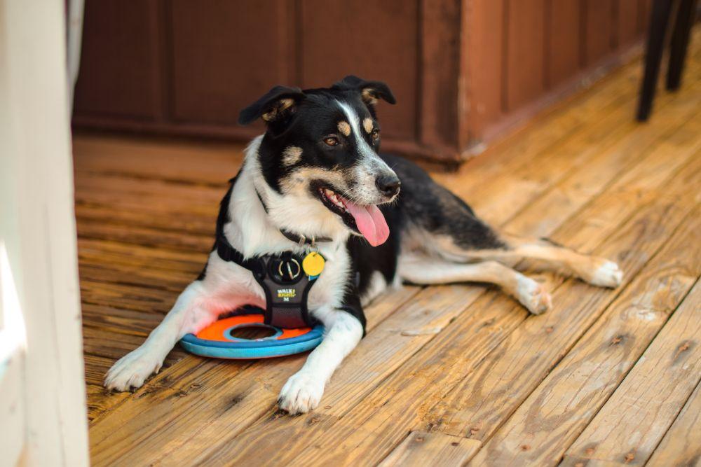 Blindenhund entspannt nach dem Zahlen der Hundesteuer auf dem Boden