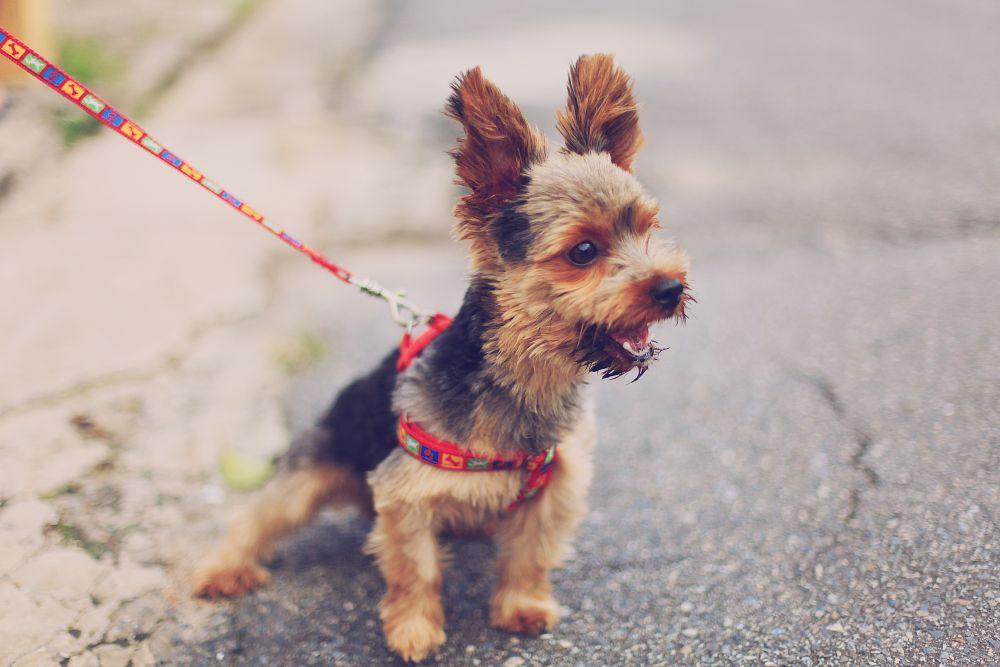 Kleiner Hund an der Leine denkt an Hundesteuer