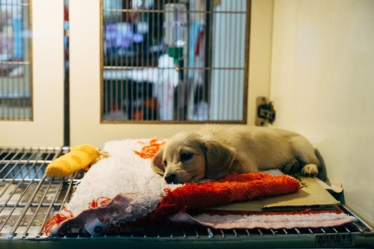 Impfung beim Hund - kleiner Hund liegt nach der Impfung auf einer Decke