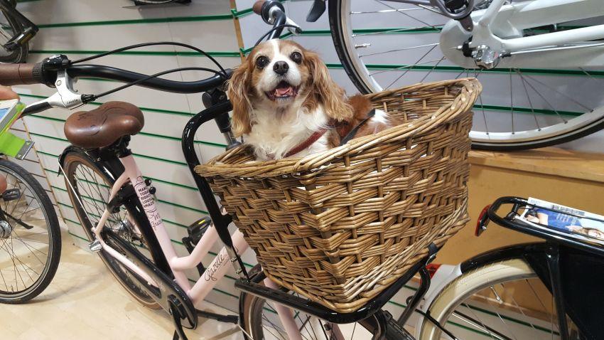 Hundekorb am Fahrrad und kleiner Hund darin
