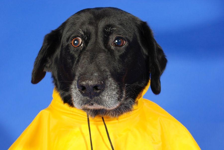 schwarzer Hund in gelbem Regenmantel