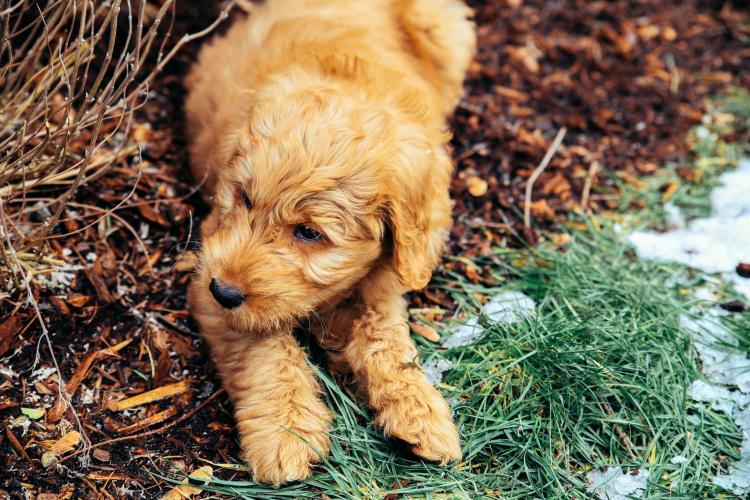 Als Hund für Allergiker geeigneter Goldendoodle am spielen