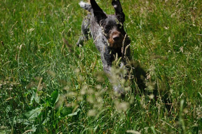 Schwarzer Hund frisst Gras und rennt