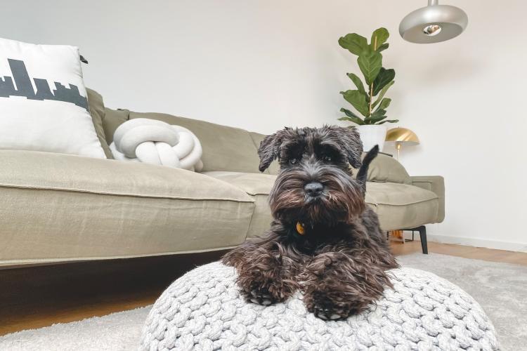 Schnauzer - Hund für Allergiker