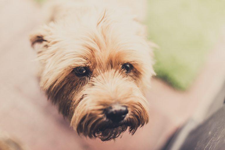 Hund weint! Trauer, Allergie, Schmerzen? Wieso weinen Hunde?