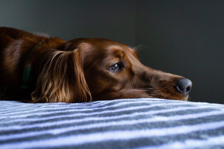 Trauriger Hund liegt auf dem Bett.